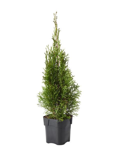 Tuja 'Smaragd', Höjd 60-70 cm, Grön
