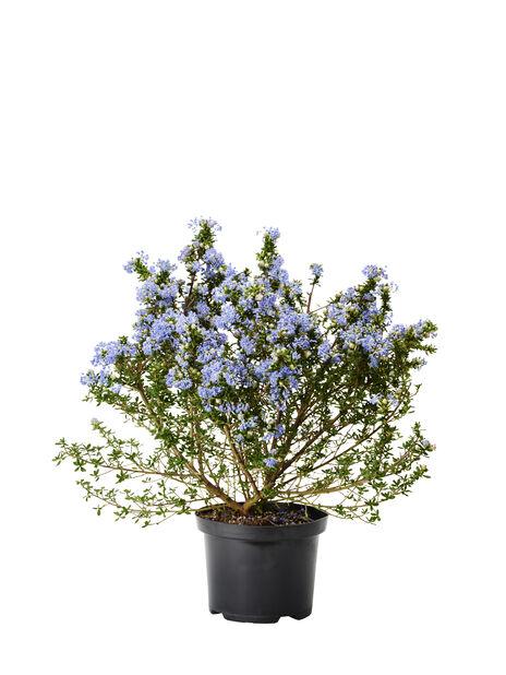 Krypsäckbuske, Ø15 cm, Blå