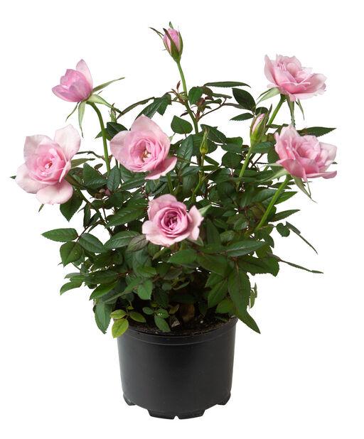 Ros i kruka , Höjd 27 cm, Flera färger