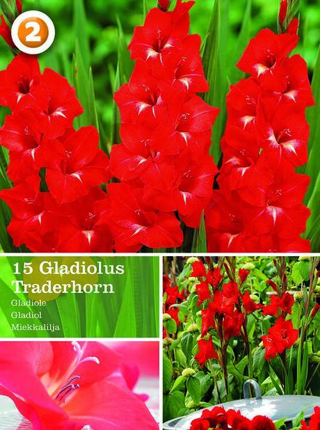 Gladiol 'Traderhorn', storblommig, Röd