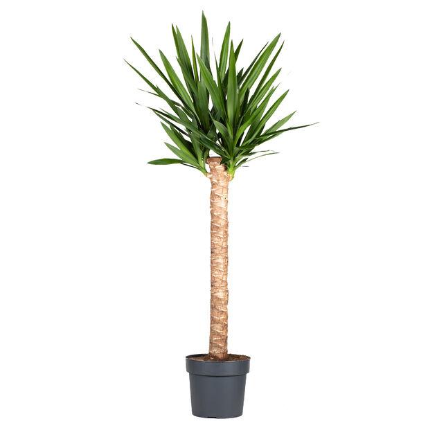Yuccapalm, Höjd 170 cm, Grön
