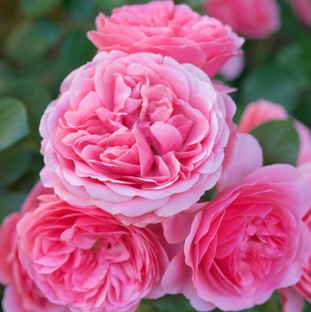 Klasblommig ros 'Leonardo Da Vinci', Ø23 cm, Rosa