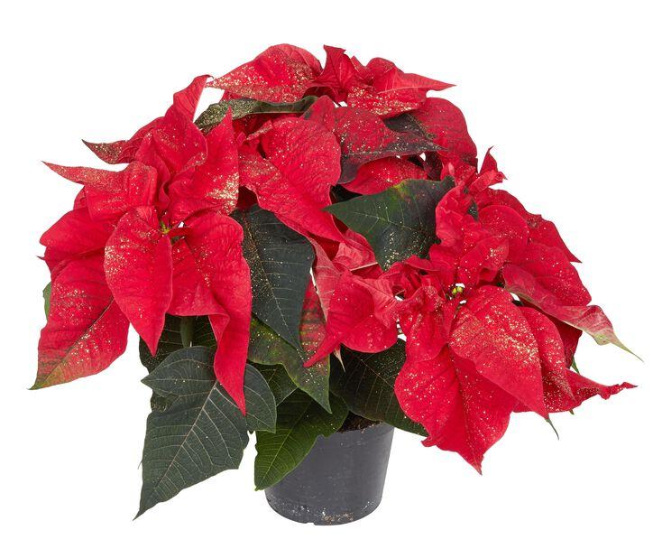 Julstjärna, med glitter 12 cm, röd