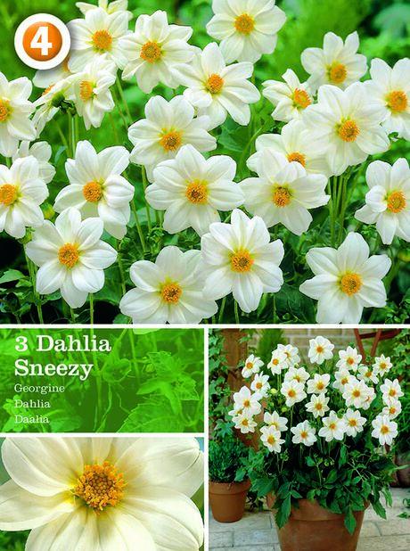 Dahlia 'Sneezy', Vit