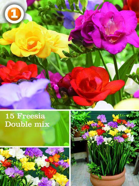 Freesia dubbel mix, Flerfärgad