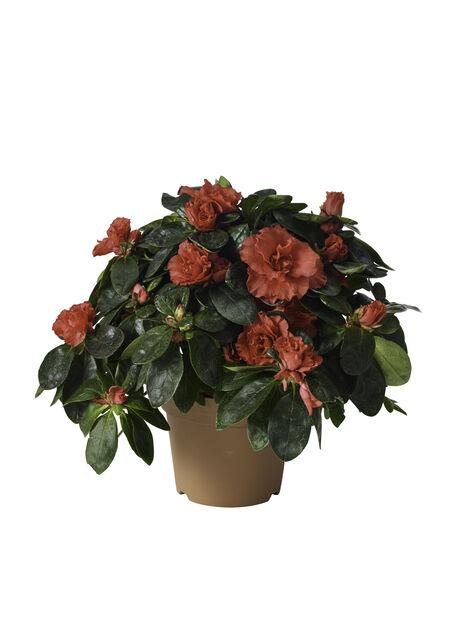 Azalea, Ø14 cm, Röd