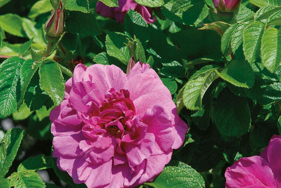 Rosa rugosa 'Hansa' 3L