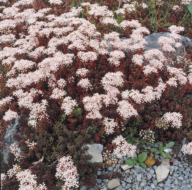 Vit fetknopp 'Coral Carpet', Ø11 cm, Vit