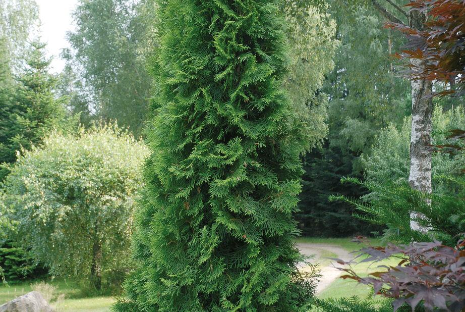 Smaragdtuja på stam