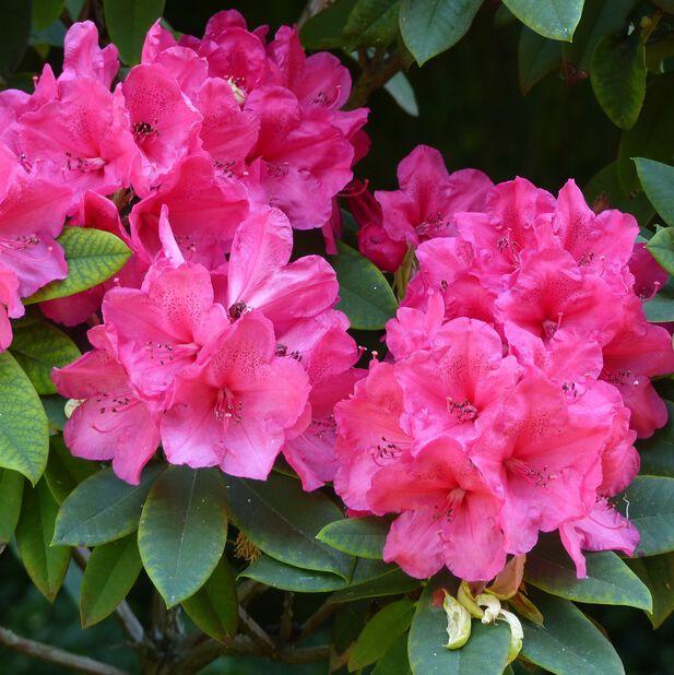 Arboreum-rododendron 'Wilgen's Ruby', Ø35 cm, Lila