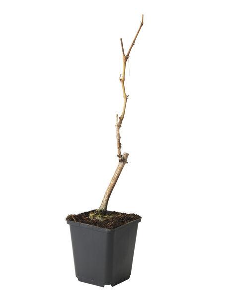 Vindruva 'Sieger', Ø12 cm, Grön