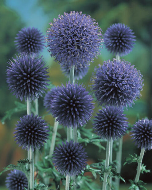 Bolltistel 'Taplow Blue', Höjd 15 cm, Blå