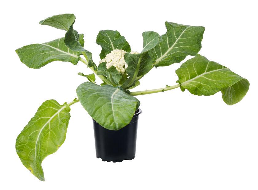 Blomkål KRAV, Ø10.5 cm, Vit