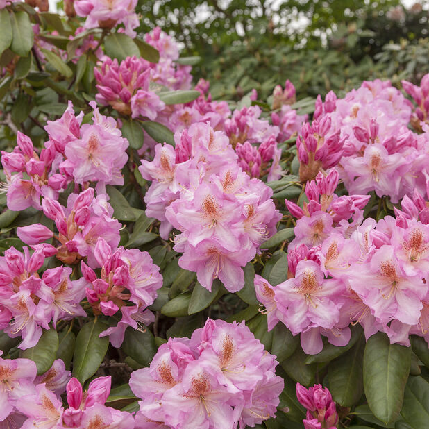 Fortunei-rododendron 'Scintillation' , Ø23 cm, Rosa