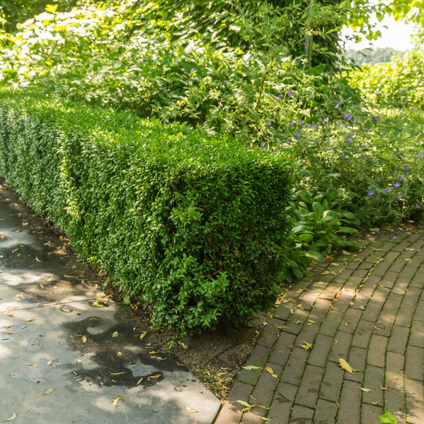 Trädbuxbom 'Arborescens', Ø13 cm, Grön