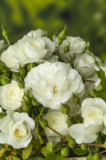Vit ros på stam, Höjd 60-80 cm, Vit
