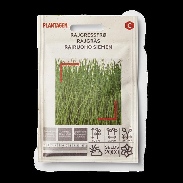 Rajgräs