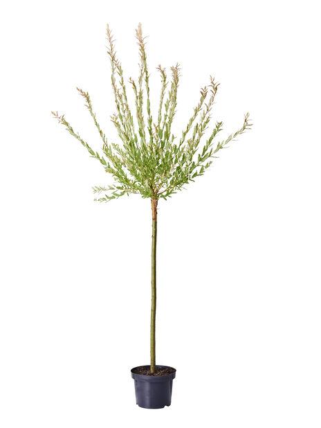 Eukalyptusvide 'Hakuro-nishiki' , Höjd 80 cm, Grön