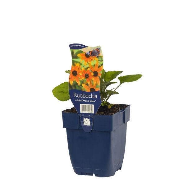Trefliksrudbeckia 'Prairie Glow', Höjd 15 cm, Orange