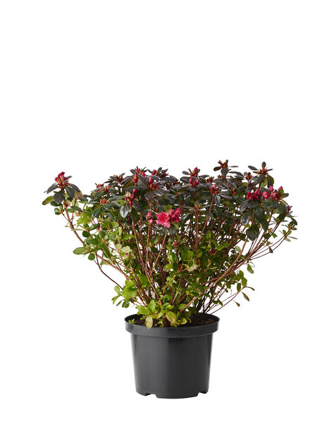 Japansk azalea 'Johanna', Ø23 cm, Röd