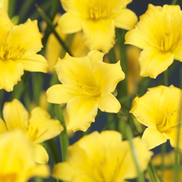 Dagliljor, olika sorter, Ø23 cm, Flera färger