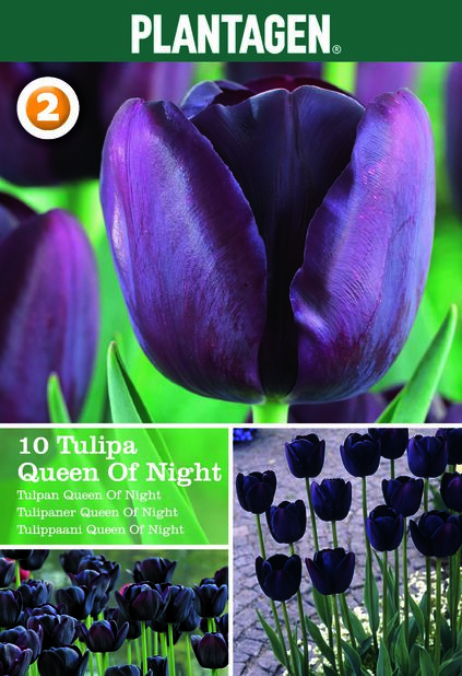 Tulpan 'Queen Of Night'