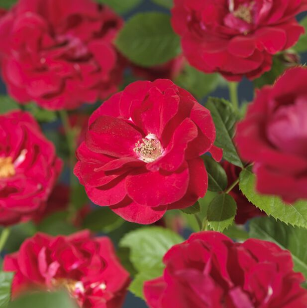 Klätterros 'Flammentanz', Höjd 100 cm, Röd