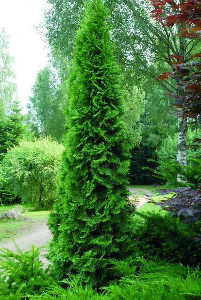 Tuja 'Smaragd' spiral, Höjd 110 cm, Grön