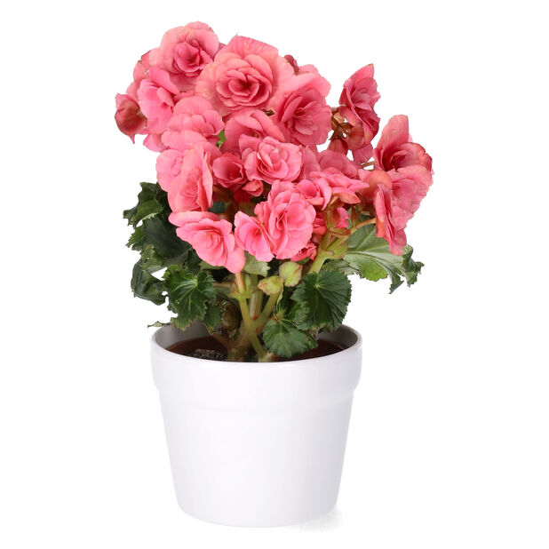 Begonia, Höjd 25 cm, Rosa
