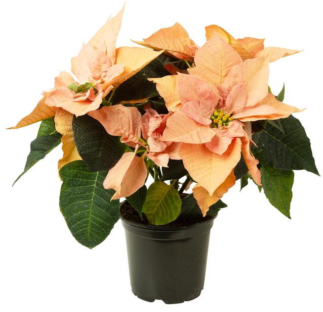 Julstjärna 'Oak', Höjd 35 cm, Orange