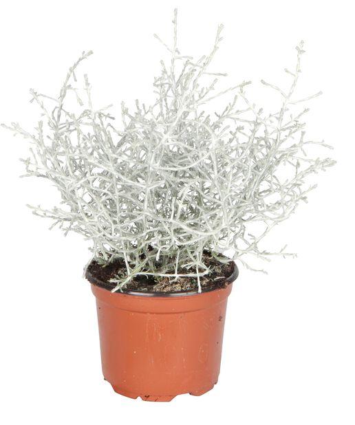 Silvergirland, Ø10.5 cm, Grå