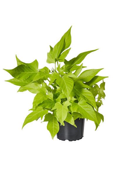 Batat 'Lime', Ø12 cm, Grön