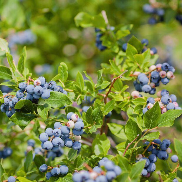 Amerikanskt blåbär 'Reka' , Ø19 cm, Grön