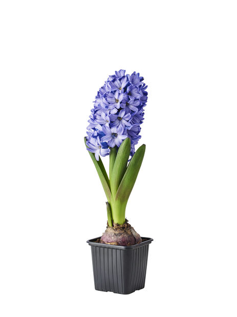 Hyacint, Ø7 cm, Blå