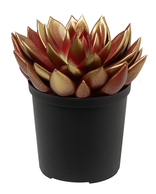 Echeveria mix, Höjd 18 cm, Flera färger