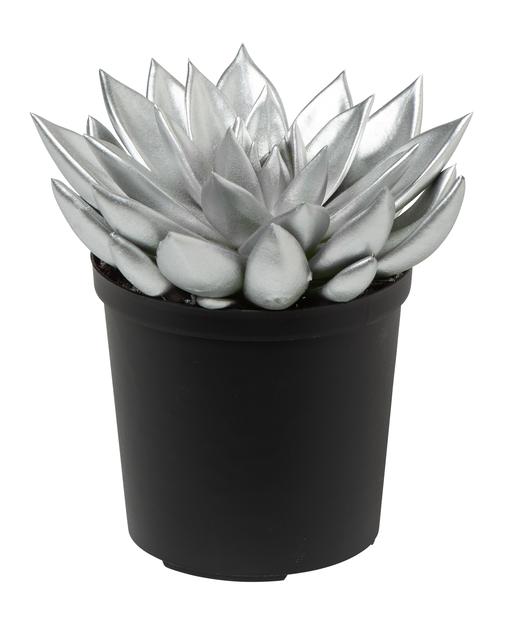 Echeveria, Höjd 18 cm, Silver