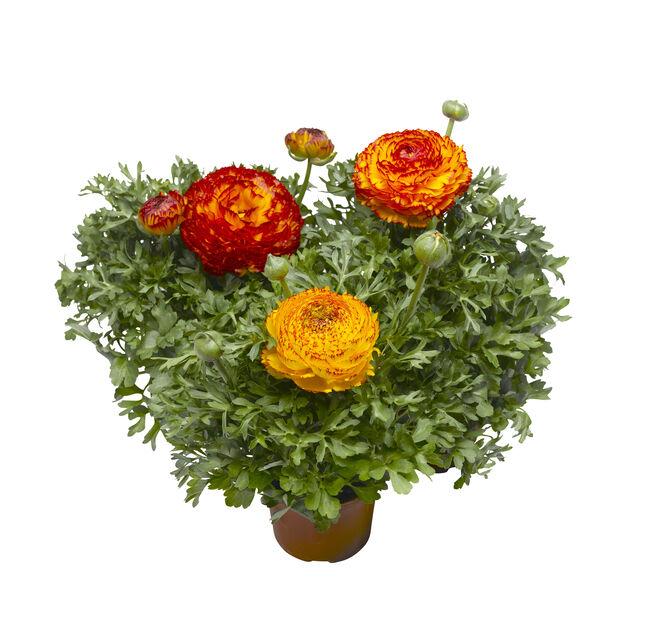 Ranunkel 'Maché Vanilla Rose', Ø19 cm, Flerfärgad