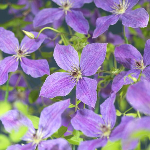 Viticella-klematis 'So Many Lavender Flowers' på torn, Höjd 75 cm, Lila