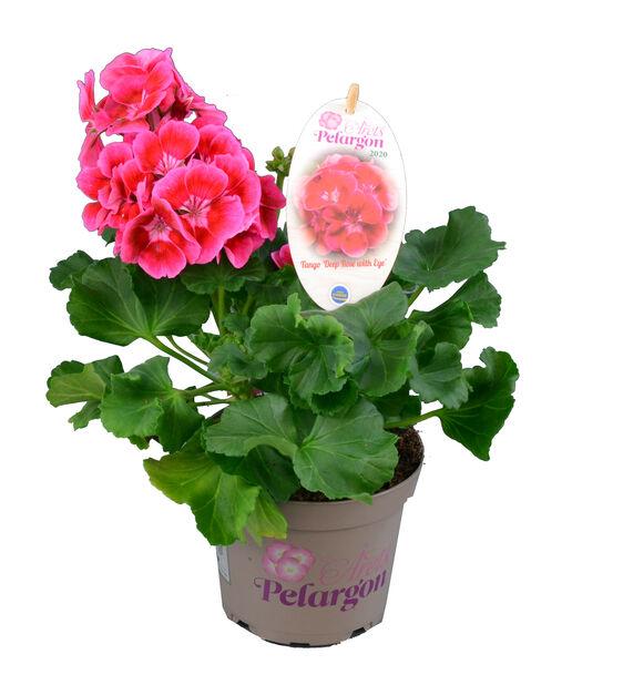 Pelargon, Ø12 cm, Flera färger