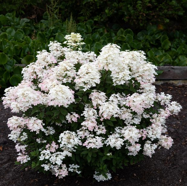 Vipphortensia 'Living Touch of Pink', Ø23 cm, Rosa