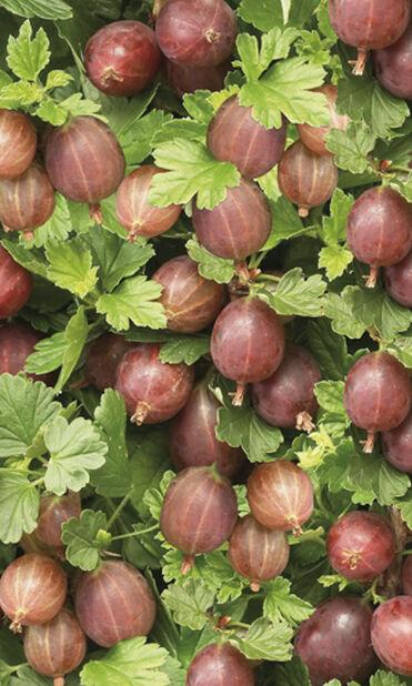Krusbär 'Hinnonmäki Röd' på stam, Höjd 80 cm, Röd