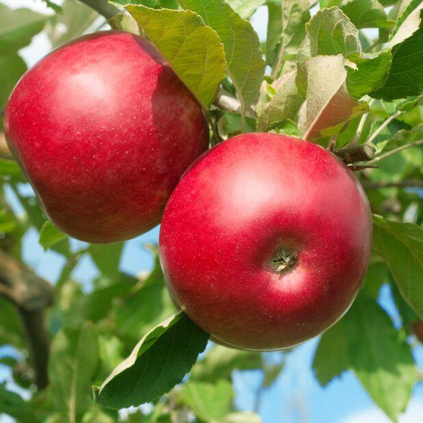 Äpple 'Röd Melba', Höjd 150 cm, Röd