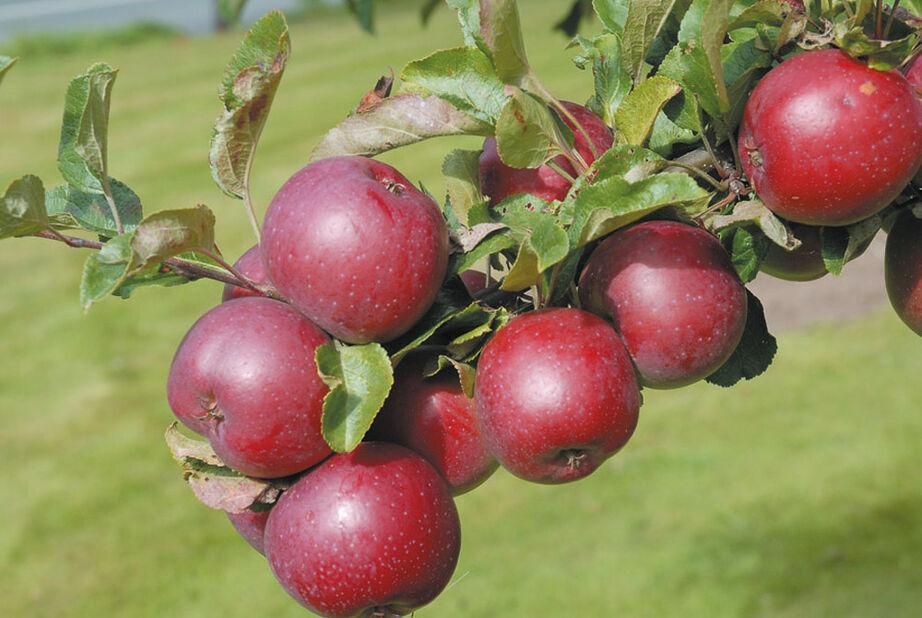 Äpple 'Rödluvan' E, Höjd 150 cm, Röd