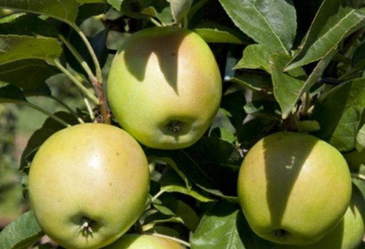 Äpplen, malus