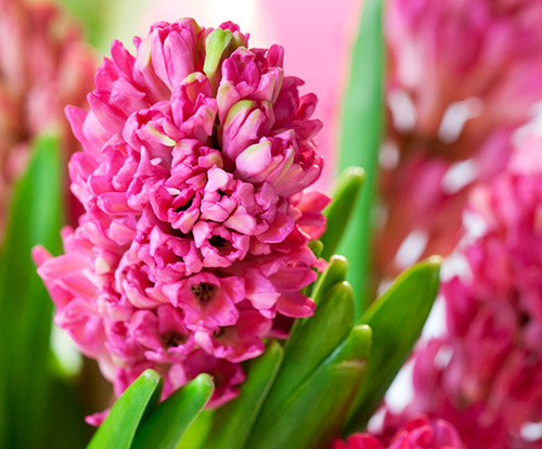 Hyacint blomma