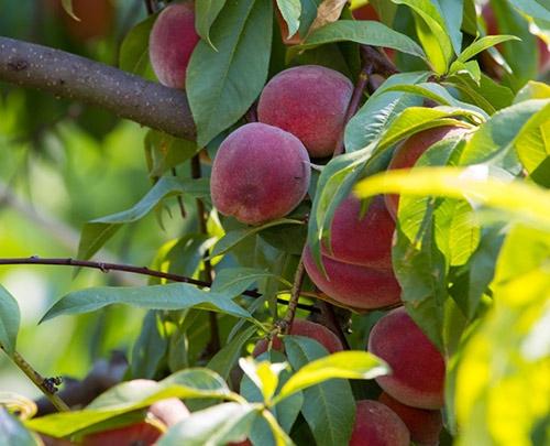 persikoträd
