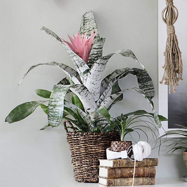 Blomsterananas som present
