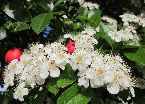 Hagtorn blomma