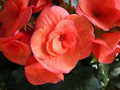 begonia blomma