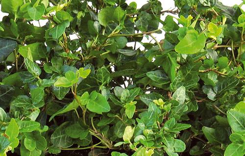 Murgröna blad